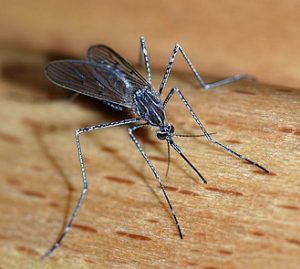 Mosquitoes - Insect Control around the house