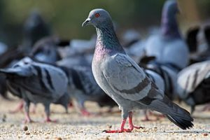 Pigeon Control Feral Pigeon
