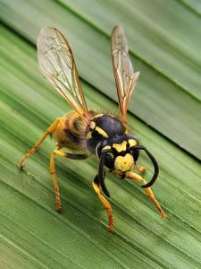 Wasps - Pest Control around the house