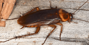 American Cockroach - Pest Control around the house