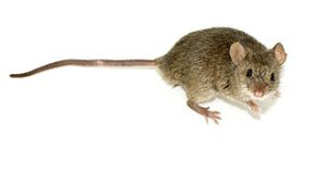 Mouse - Rodent Control around the house