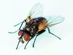Fly Control - Pest Control around the house